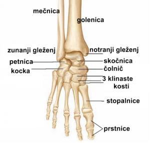 artroza gležnja- anatomija